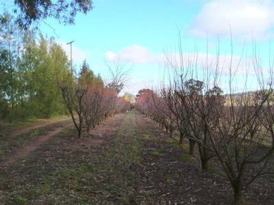 Viable Plum/Cherry Orchard Picture