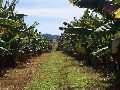 Banana Farm Picture