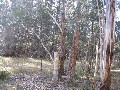 Mature Radiata Pine Plantation 30 + years old Picture